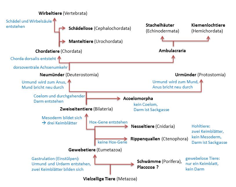 Stammbaum Metazoa